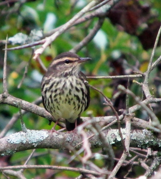 NoWaterthrush