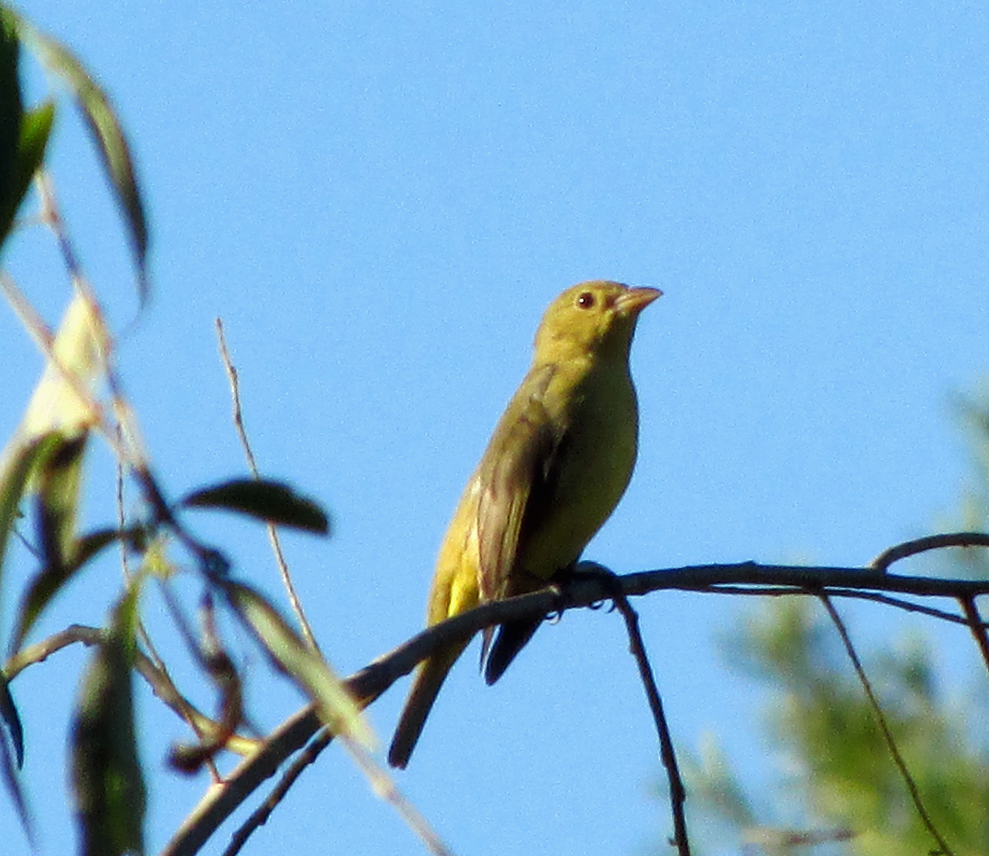 Tanager-Sept18