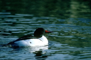Common_Merganser (1)