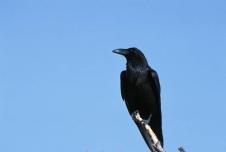 Common_raven