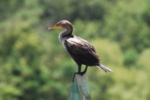 Cormorant-Perched