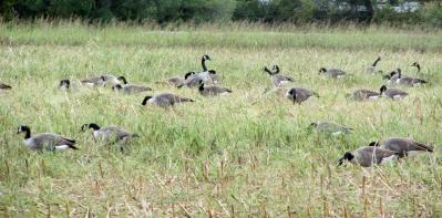 Geese-Flock 2