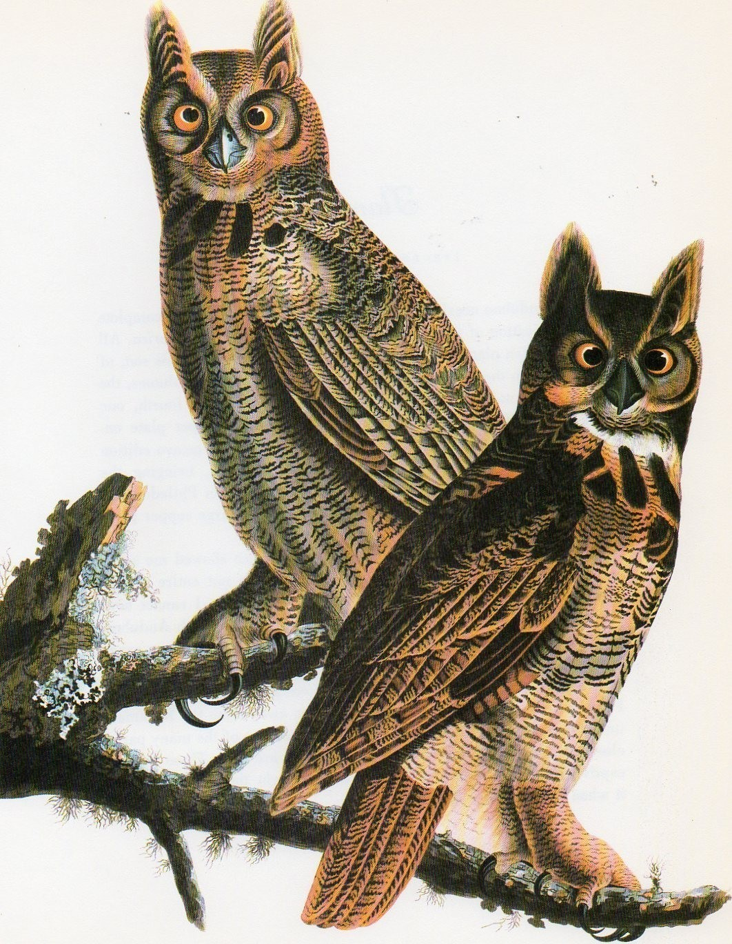 Great Horned Owl Our Fine Feathered Friends
