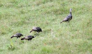 Turkey-Flock