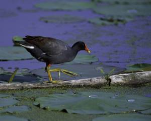 Common_Moorhen_at_Squaw_Creek_National_Wildlife_Refuge
