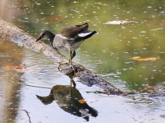 Gallinule-Three