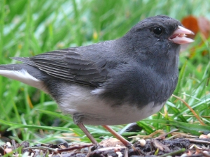 Junco-Ground