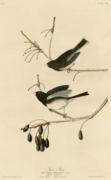 Snow_Bird_(Audubon)