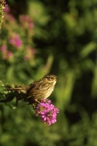 Swamp_Sparrow