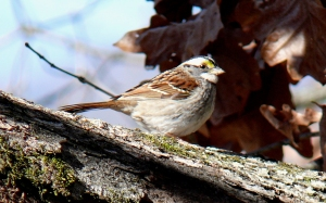 White-throated_Sparrow-27527