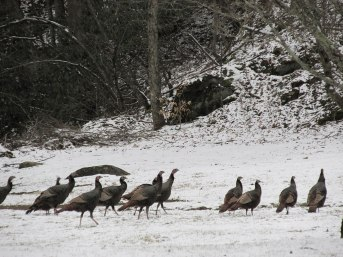 Winter-Turkeys