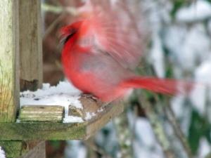 Cardinal-Blur
