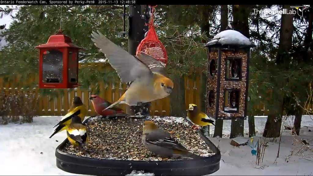 A Still Shot From The Feeder Watch Cam In Ontario Showing Evening Grosbeaks And Pine