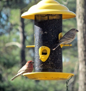 Finches-AtFeeder