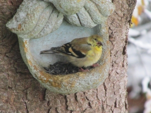 Goldfinch-Face
