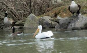 Pelican-Geese