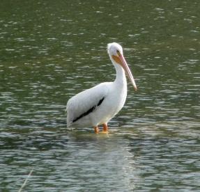 Pelican-Standing