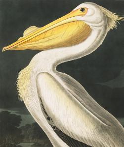 Plate-311-American-White-Pelican-final