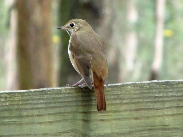 HermitThrush-April