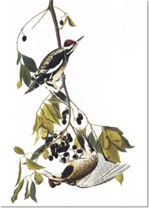 audubon-viii-gleaners-of-forest-and-meadow-yellow-bellied-sapsucker-aka-yellow-bellied-woodpecker
