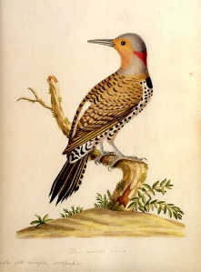 Birds-of-GA-northern-flicker