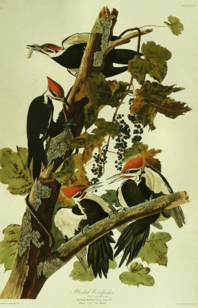 John_James_Audubon_-_Pileated_Woodpecker