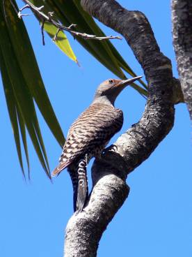 Northern_flicker (2)