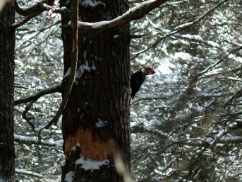 Pileated_Woodpecker-27527