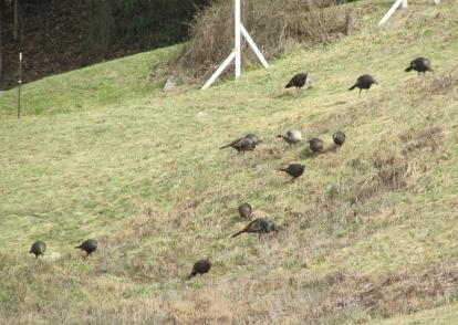 Turkeys-Hillside