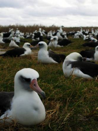 Laysan_albatross_nesting_on_Eastern_Island (1)