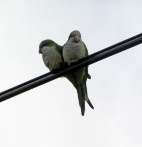 MonkParakeet-Three