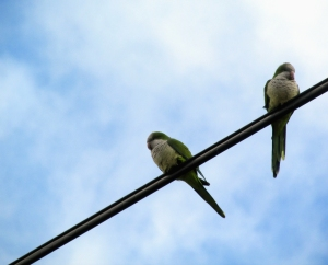 MonkParakeets-Two