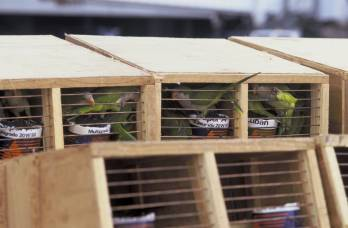 USFWS_Inspection_of_Quaker_Parakeet_Shipment_from_Uruguay