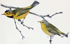 Bachman's_Warbler