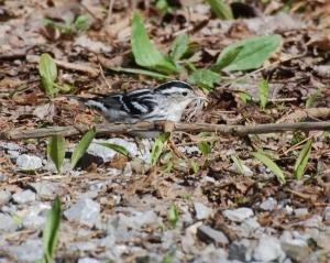 BlackNWhite-Warbler
