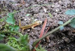 Salamander-Pretty