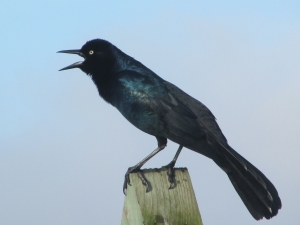 Singiong-Grackle