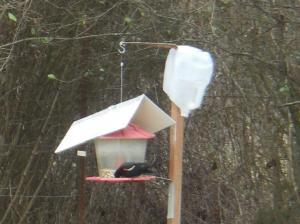 Stetler-Blackbirds