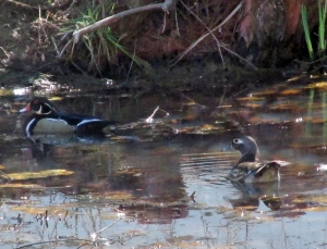 WoodDucks-1