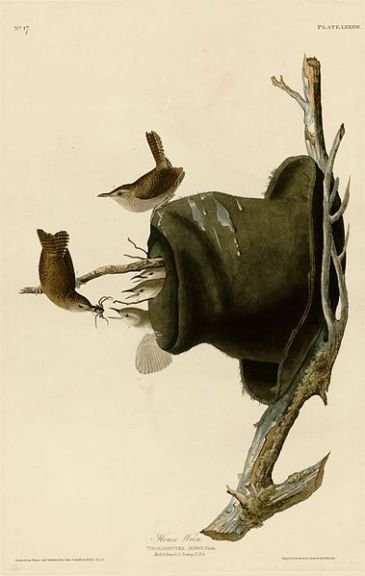 Wrens are known to nest and roost in some unusual places, as shown in this painting of wrens nesting in an old hat by artist John James Audubon.