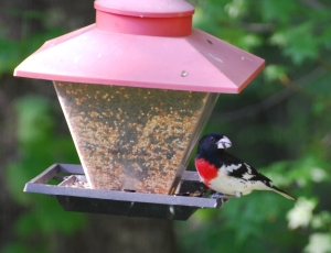 Rose-breastedGrosbeak