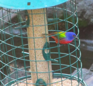 PaintedBunting-Feeder