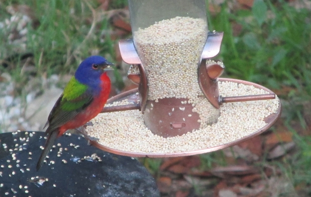 PaintedBunting-Male (1)