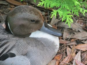 Pintail-Head