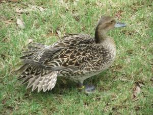 Pintail-Hen
