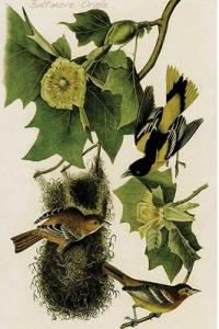 Baltimore-Oriole-by-John-James-Audubon-Graphic-Art-0-587-64671-L