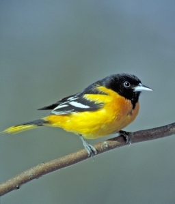 BaltimoreOriole-FWS