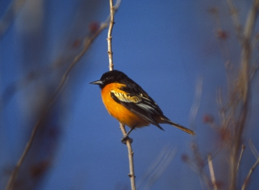 BaltimoreOriole-Two