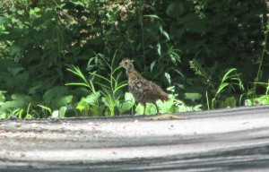 Chick-Grouse