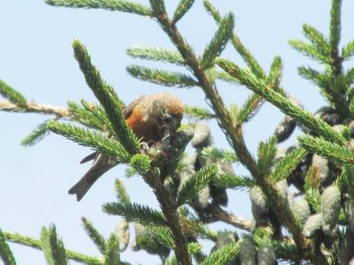 Crossbill-Carvers